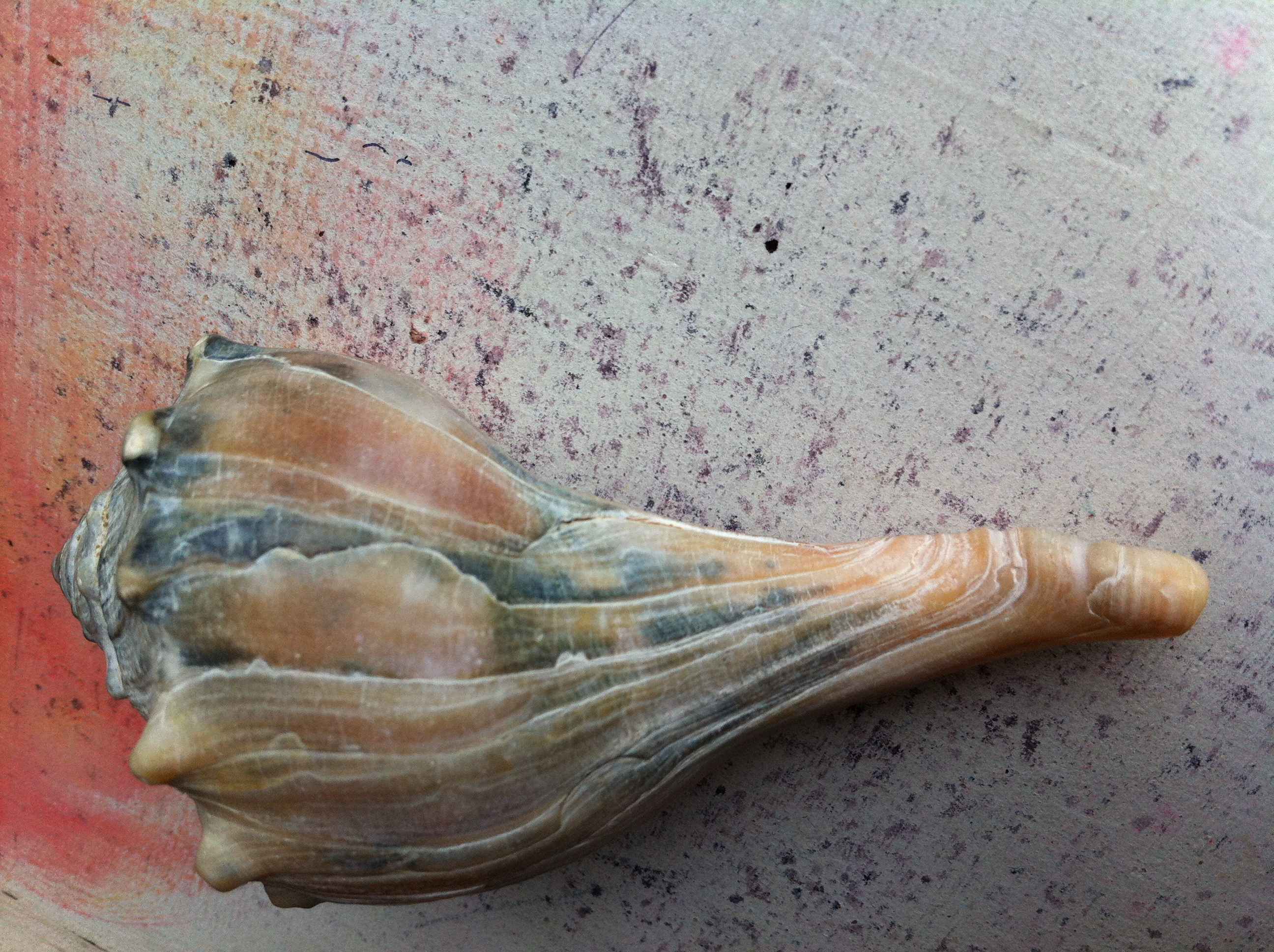 Conch Shell Symbolism Dads American Beauty